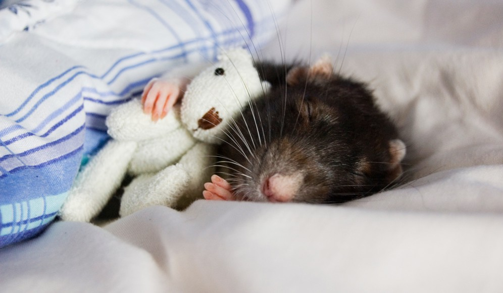 Scientists have found a sleep switch in the mouse brain