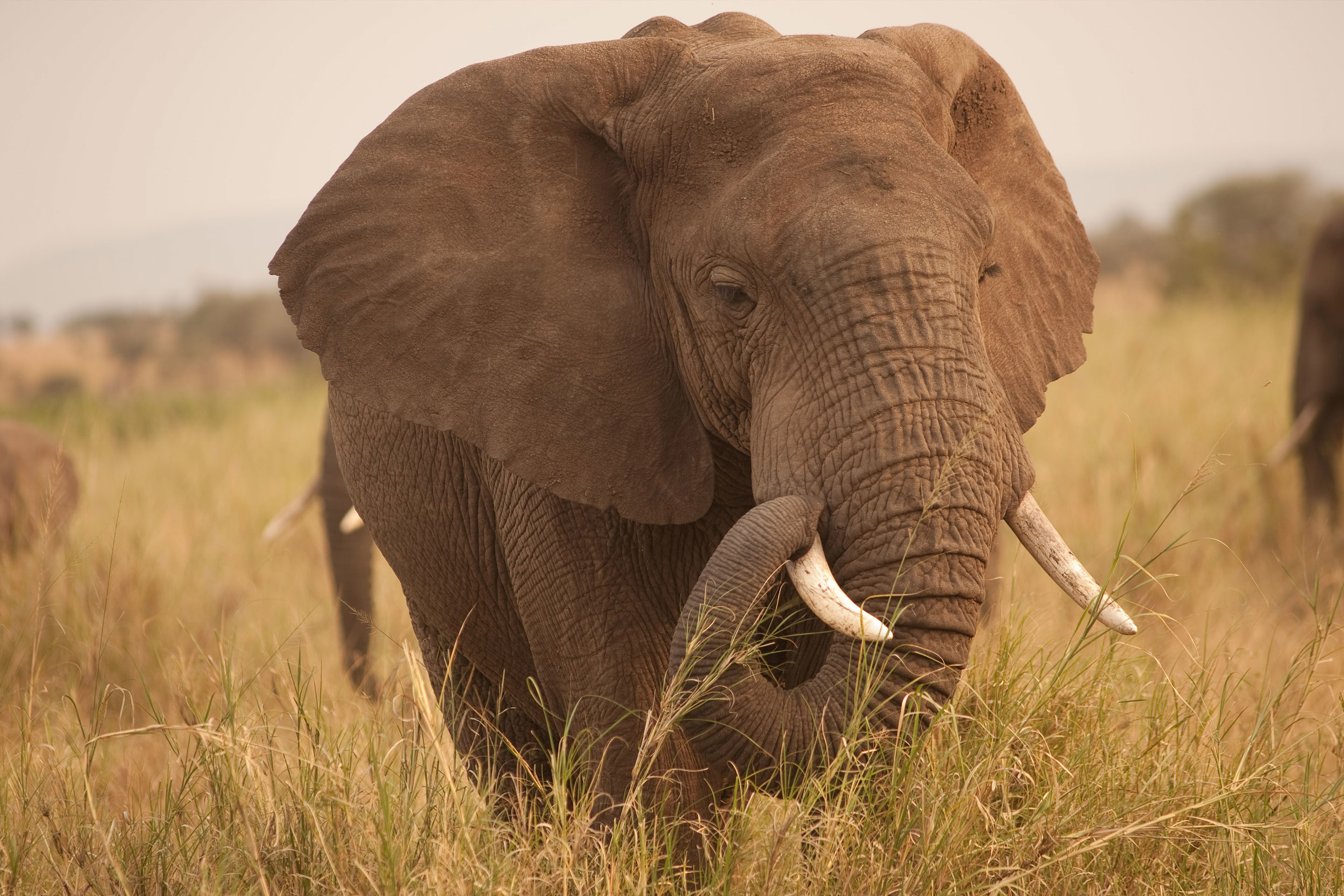 Scientists have discovered why elephants don't get cancer