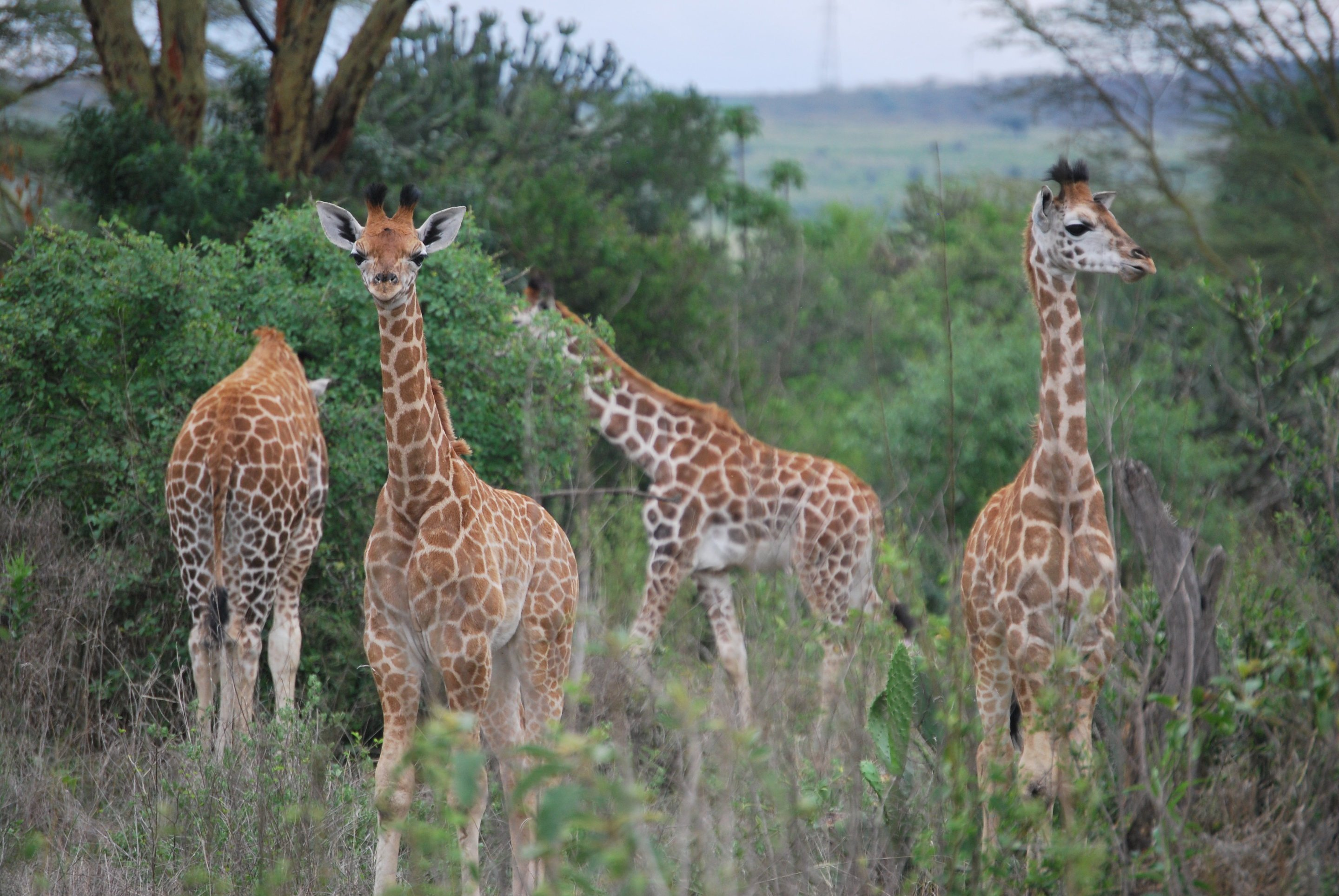 Giraffes again surprised biologists
