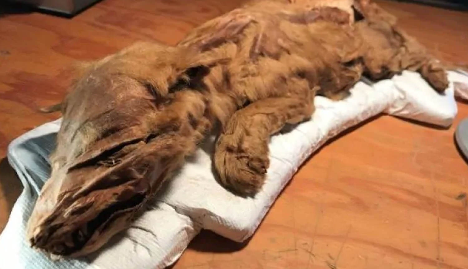 In Canada found the mummified body of a 50 000-year-old the wolf and the deer
