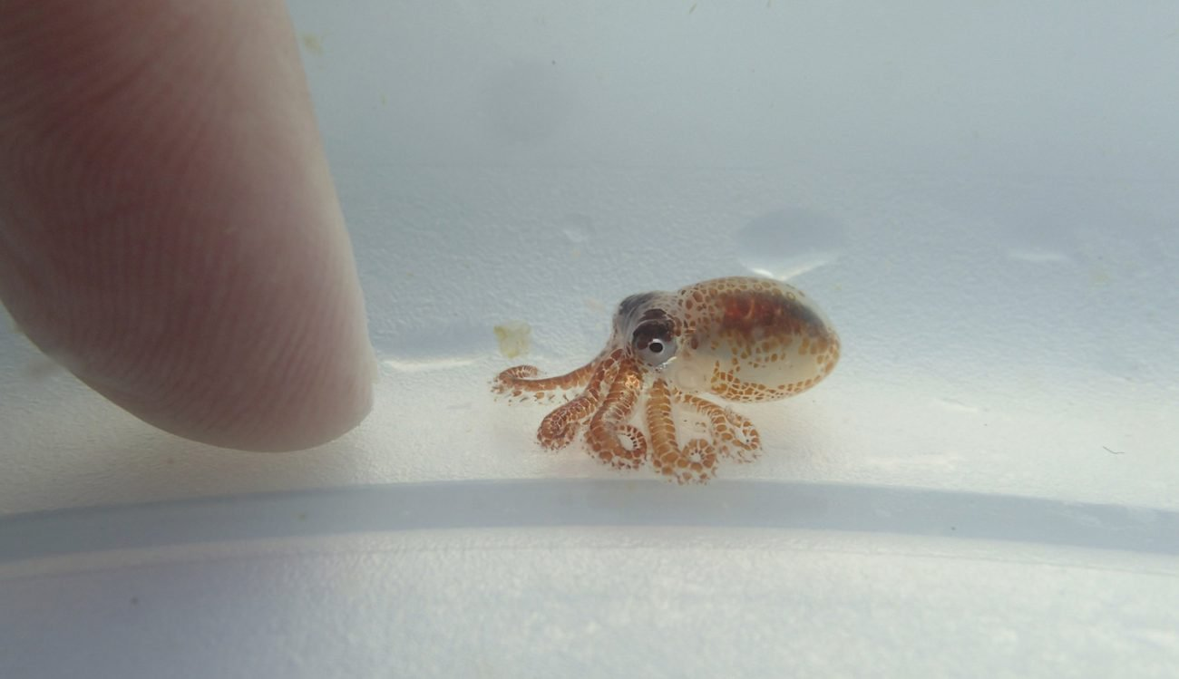 Tiny octopus-killers reminded about the contamination of oceans