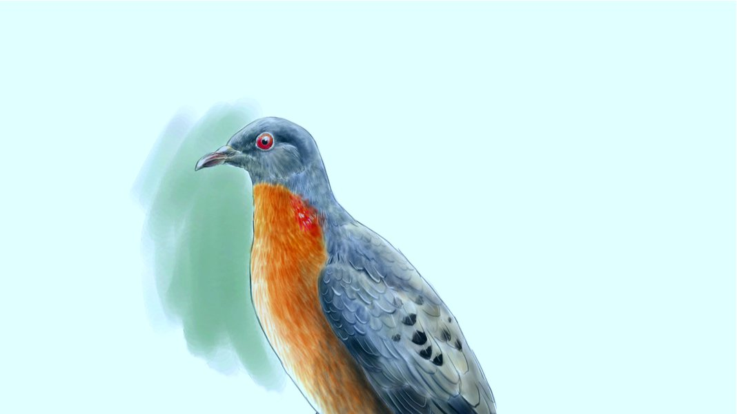 The resurrection of extinct species will start from the passenger pigeon