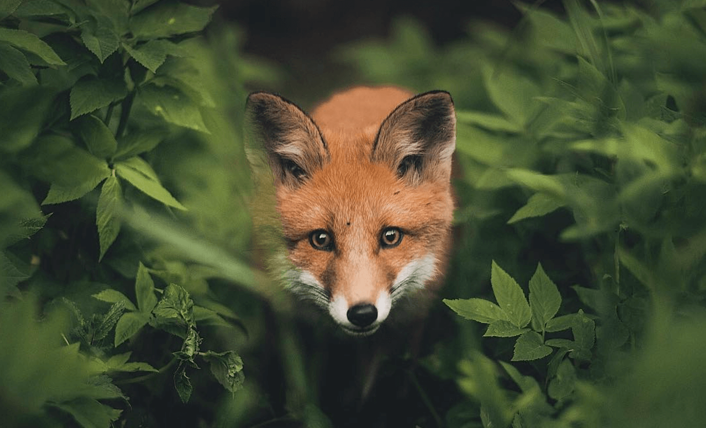 Foxes are not so red, as we imagine them to present