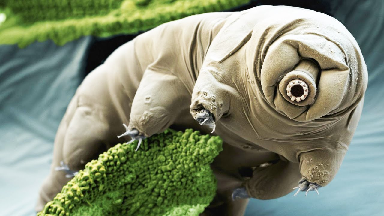 Tardigrades can survive the fall of an asteroid and supernova explosion