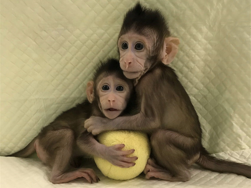 Chinese geneticists have cloned the first monkey by the method of Dolly the sheep