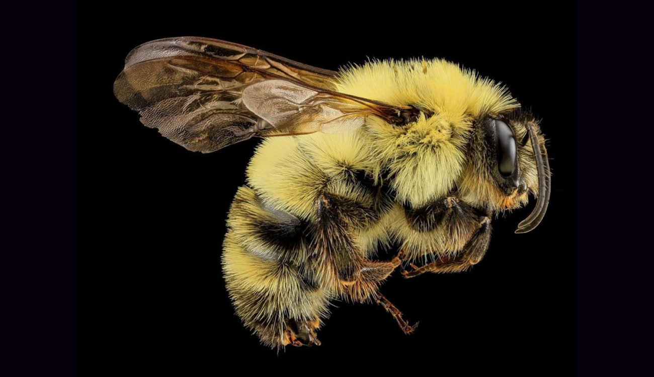 Bumblebees have become an important part of the Internet of things