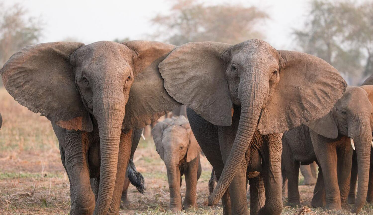 Indian elephants began to gather in the