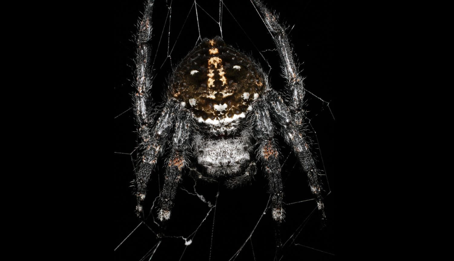 This spider weaves the strongest web. What's his secret?