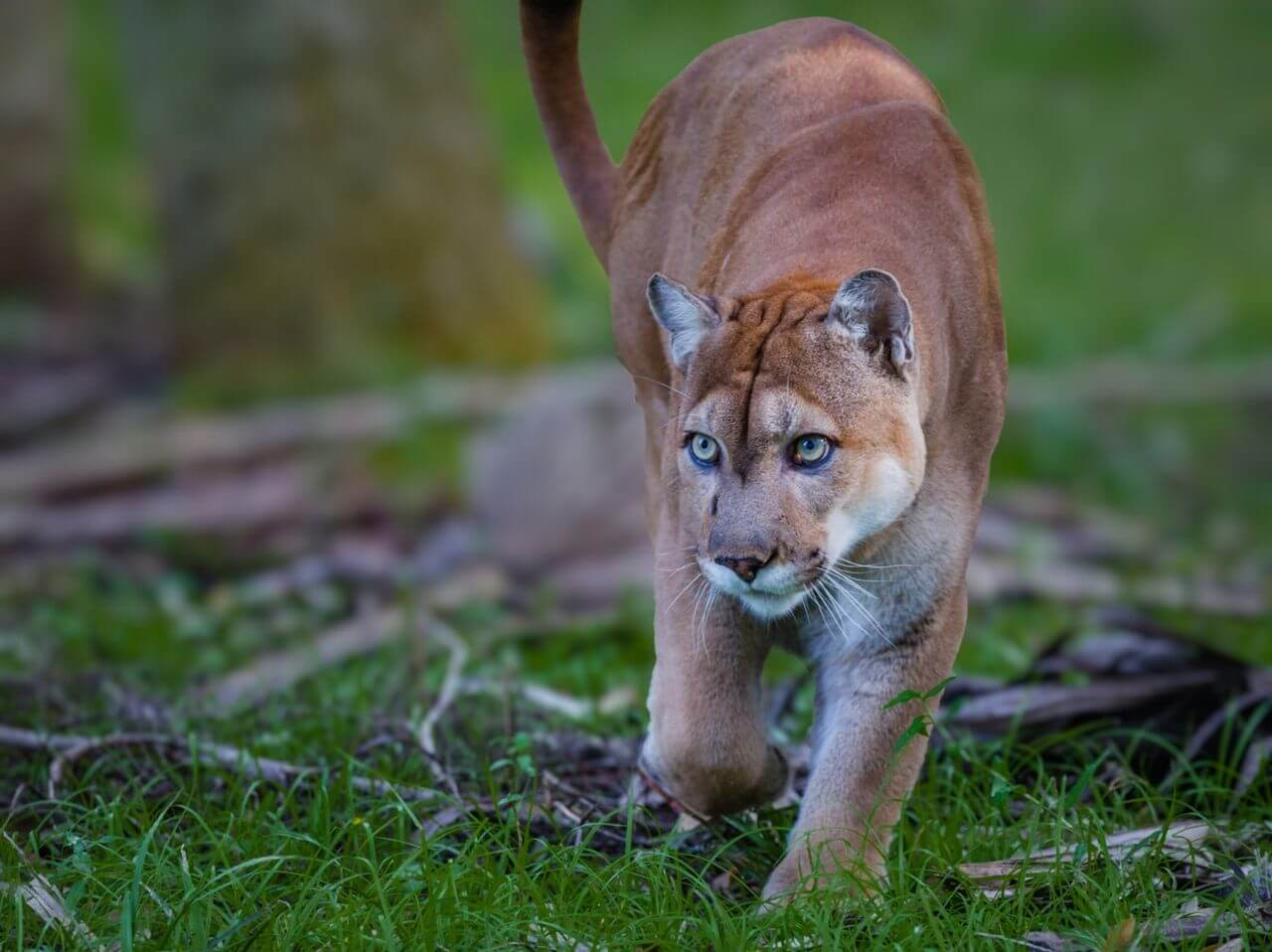 Endangered Panthers suddenly forgot how to walk. What happens to them?