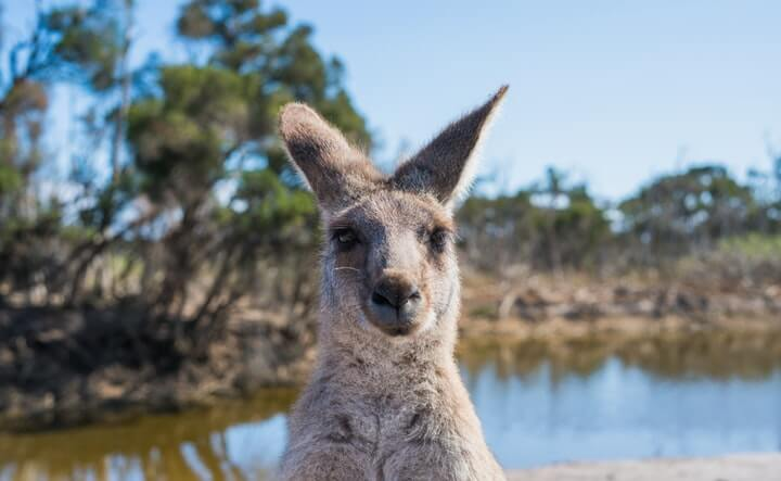 Ancient kangaroos once filled the Land