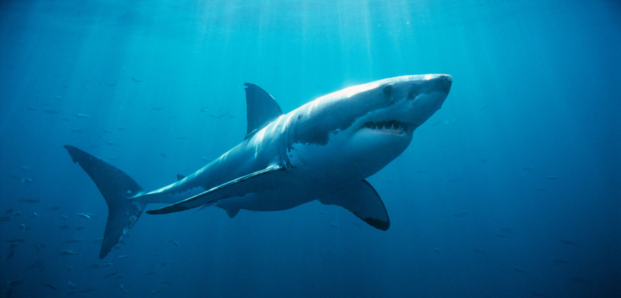 White sharks gather annually in groups off the coast of Australia, but it is not clear why
