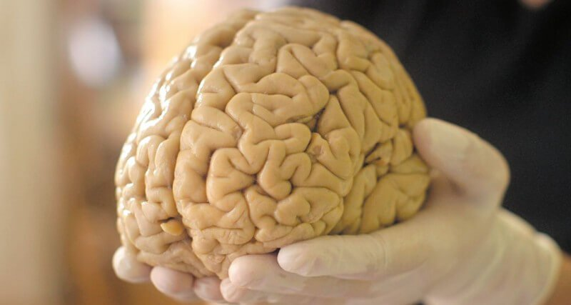 Brain tissue is able to function outside the body for almost a month