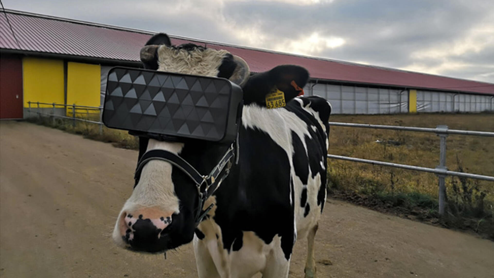In Russia figured out how virtual reality affects the health of the cows