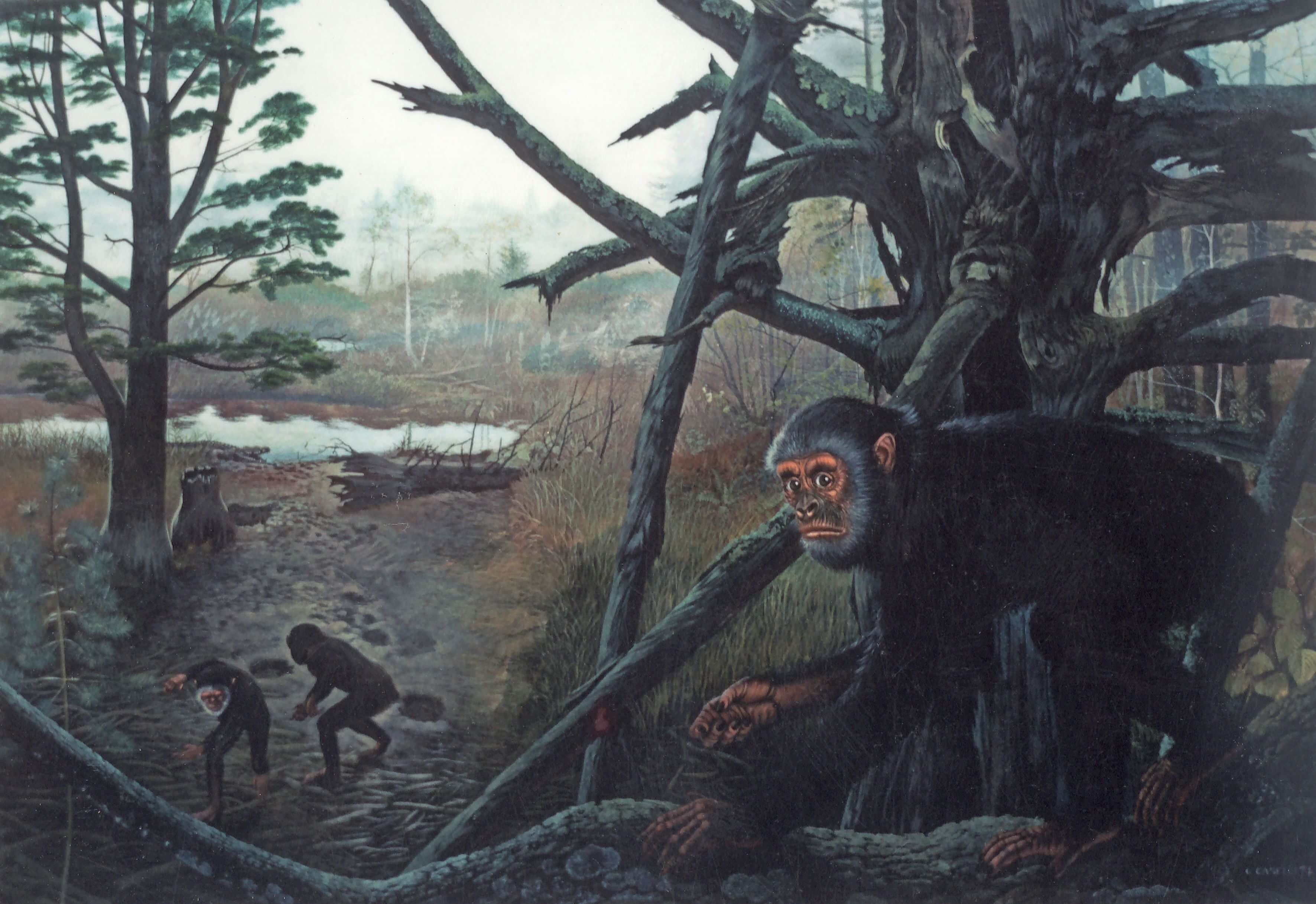 Why the ancient apes did not know how to walk on two legs and lived on trees?