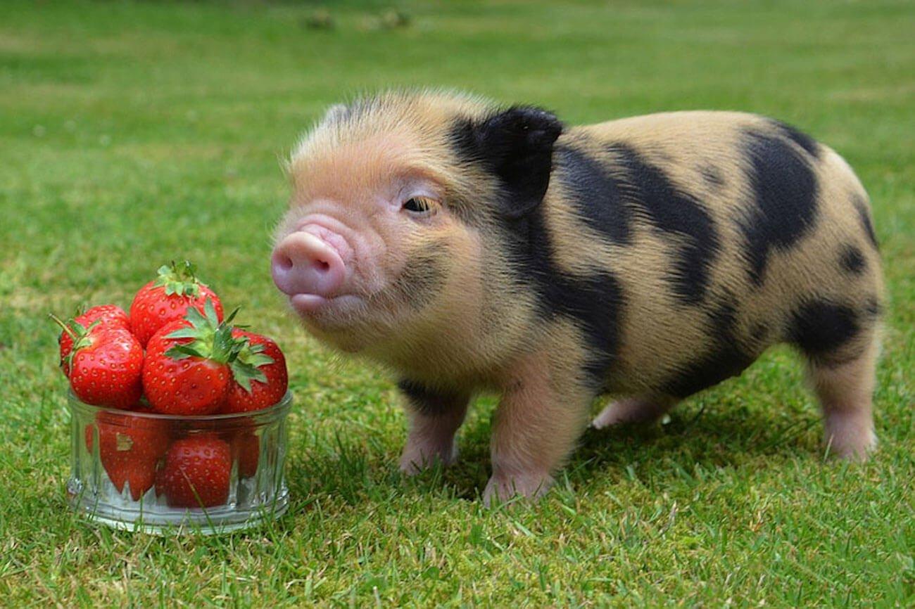 Картинки декоративных свинок