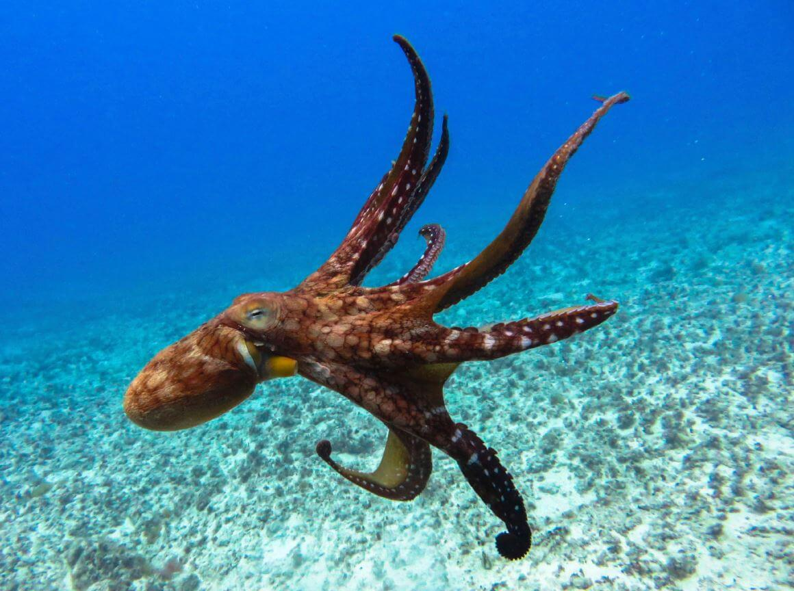 Why people will never be able to domesticate octopuses?