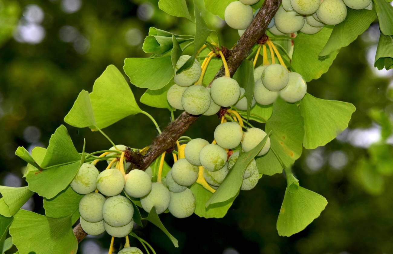 Solved the secret of the Millennium Ginkgo tree