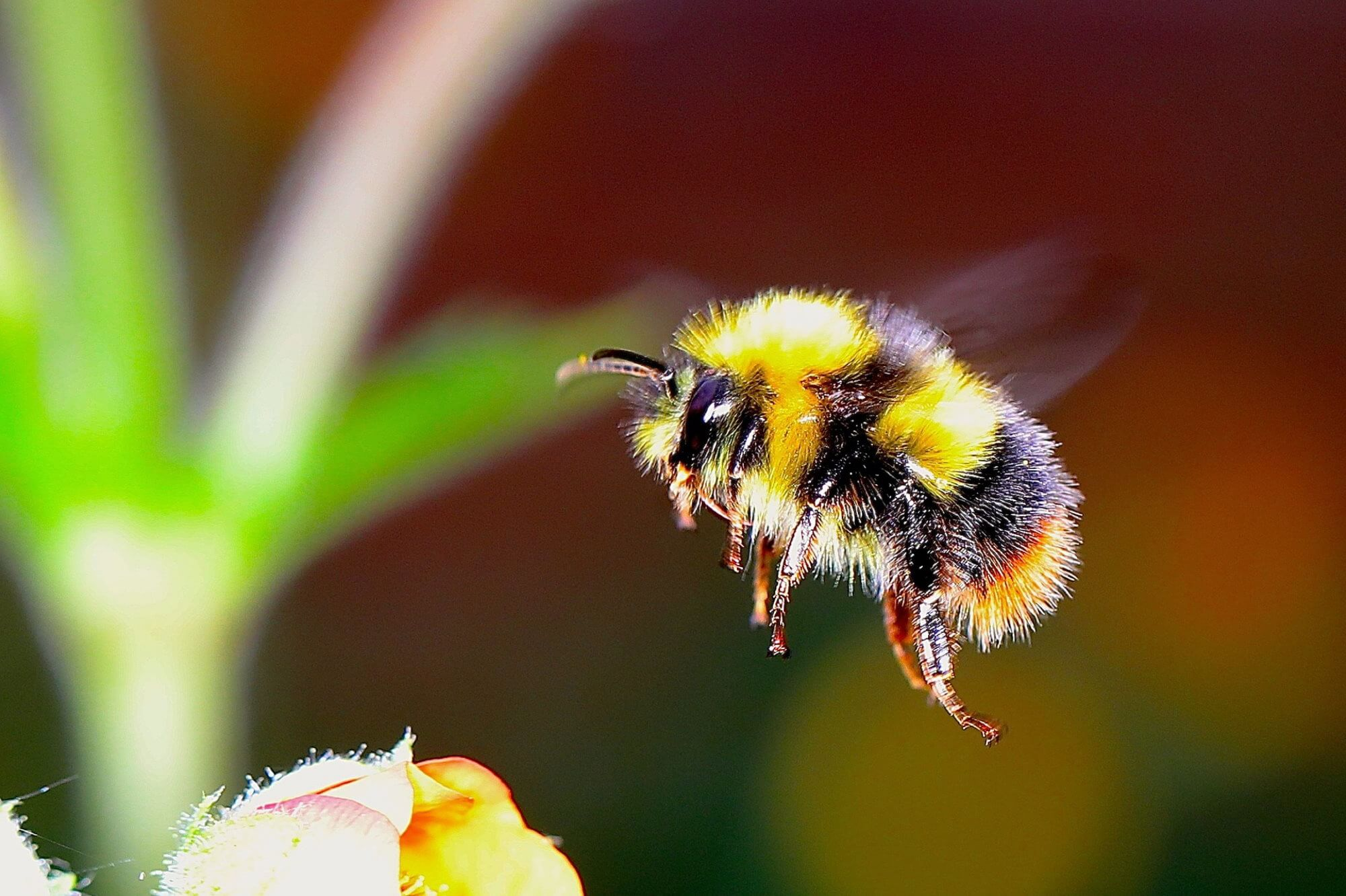 Climate changes pose a threat of extinction even bumblebees