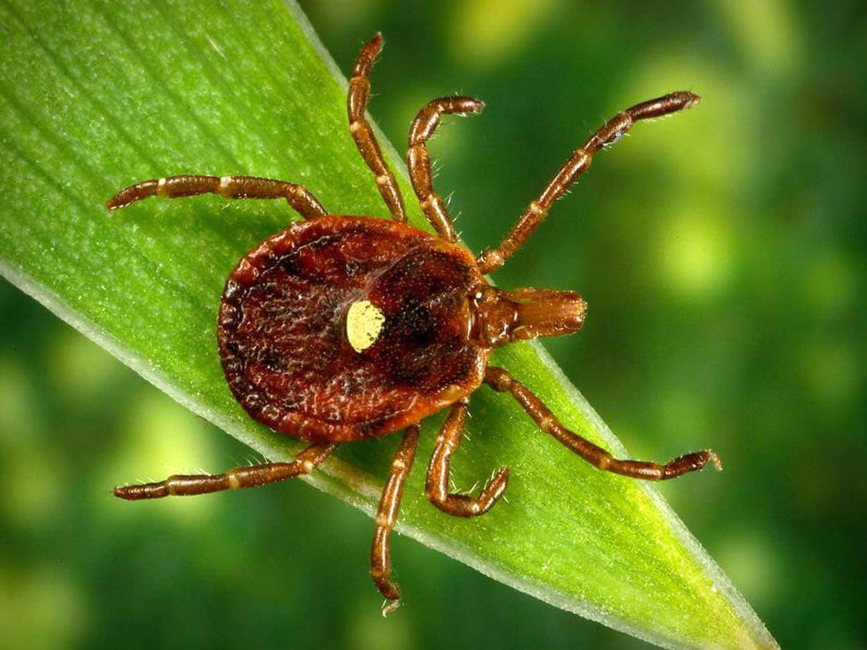 Known antibiotic can cure the disease caused by the bite of ticks