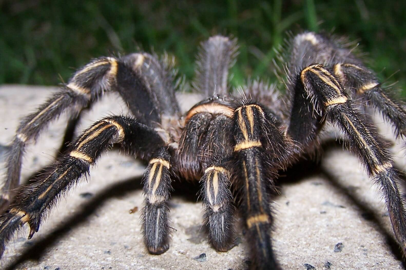The biggest spider in the world weighs like a dog before he even interesting?