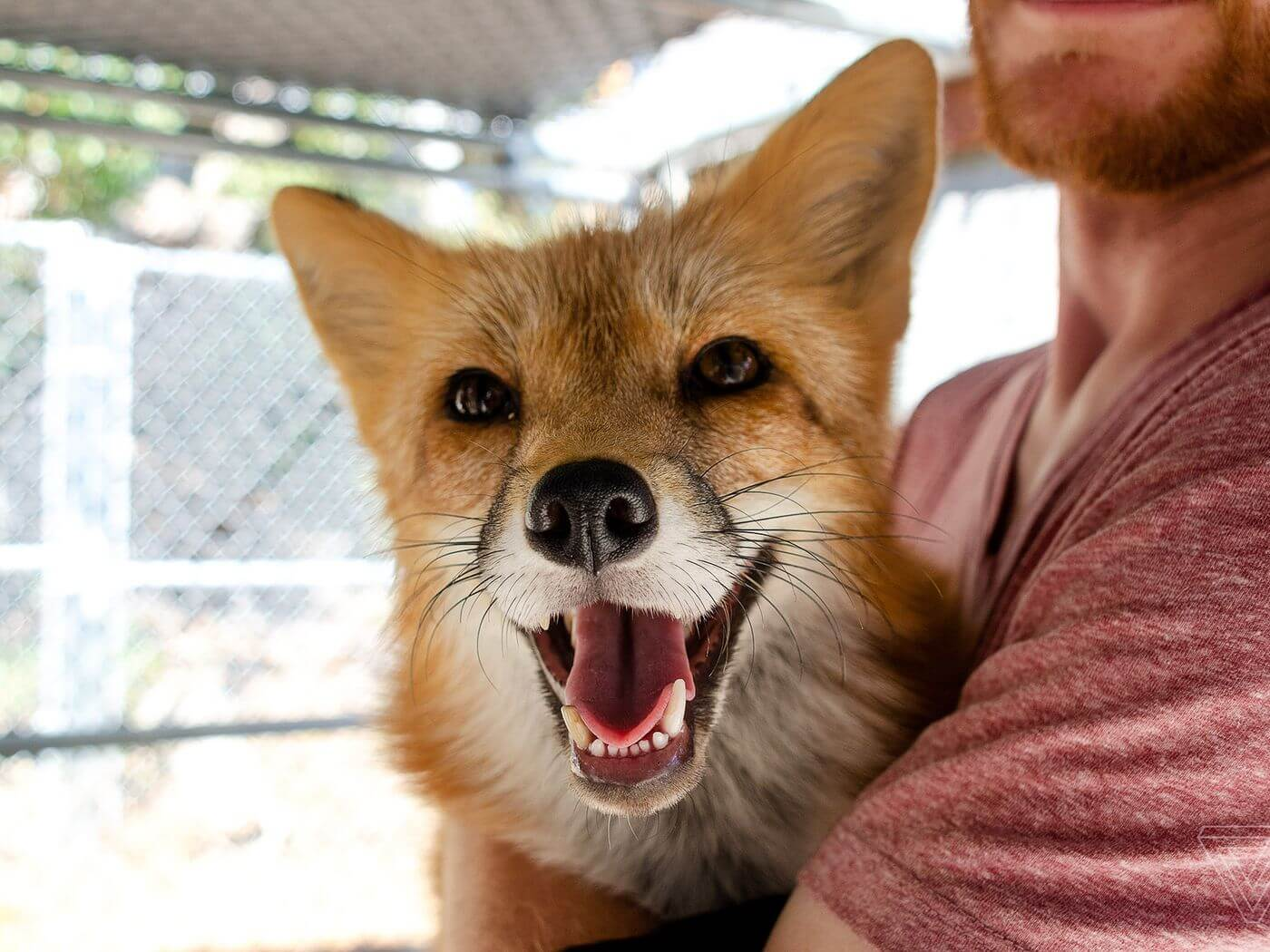As a Russian genetics first in the world managed to bring a pet Fox?