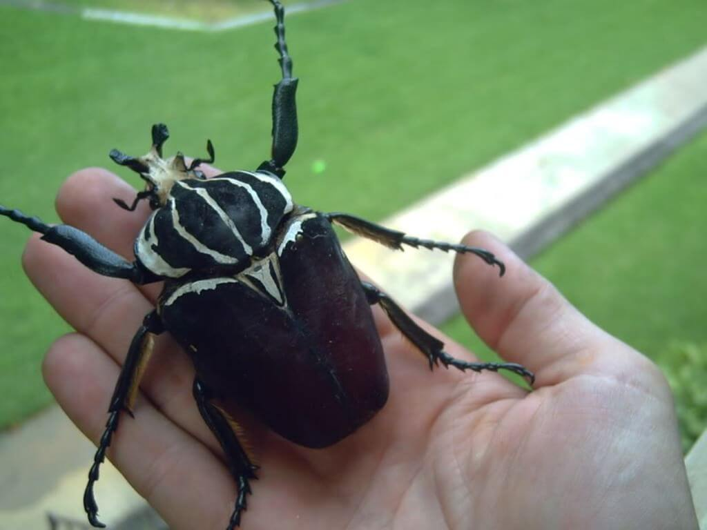 The largest beetle in the world can knock you down