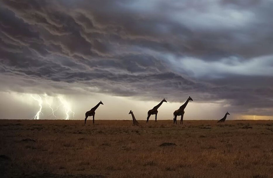 How often do high-level giraffes be struck by lightning?